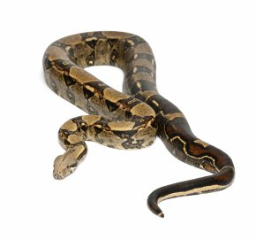 Snake - Boa Constrictor Imperator Snake Vipers Stock Photography Emerald Tree Boa PNG