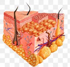 Anatomy - Human Skin Cell Homo Sapiens Human Body PNG
