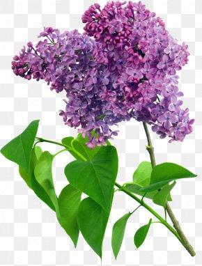 Purple Flower - Common Lilac Flower Violet Clip Art PNG