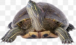Turtle - Turtle Reptile Filter Wallpaper PNG