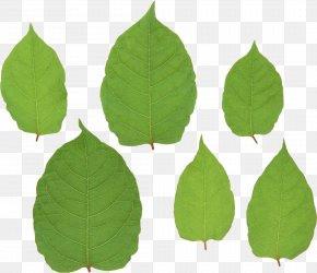 Green Leaf - Leaf Fallopia Japonica Stock Photography PNG