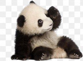 Panda Panda - Giant Panda Birthday Cake Bear Icing PNG