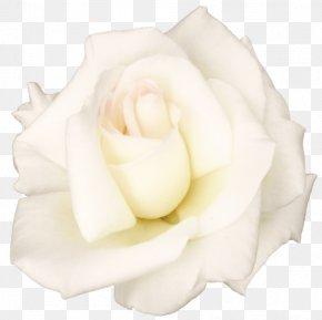 White Rose Transparent Image - Garden Roses Centifolia Roses Petal White Cut Flowers PNG