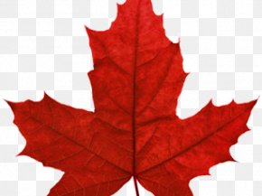 Incuse Maple Leaf - Red Maple Maple Leaf Japanese Maple Autumn Leaf Color Clip Art PNG