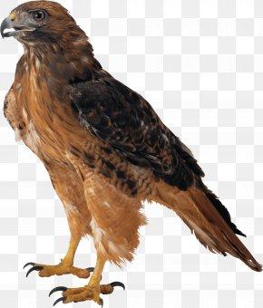 Eagle Image Download - Eagle Clip Art PNG