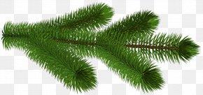 Transparent Pine Branch 3D Clipart Picture - Pine Conifer Cone Clip Art PNG