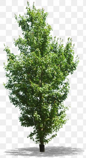 Tree - Tree Woody Plant Branch PNG