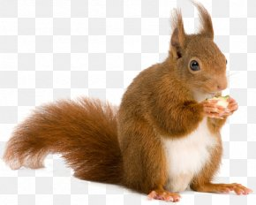 Squirrel - Squirrel Rodent Computer File PNG