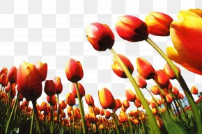 Lily Family Spring - Floral Spring Flowers PNG