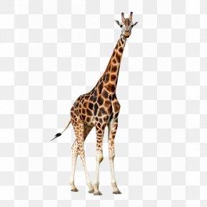 Colora - Northern Giraffe Animal Clip Art PNG