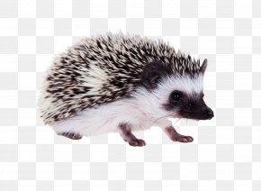 Prickly Hedgehog - Guinea Pig Hamster Domesticated Hedgehog Erinaceus Dog PNG