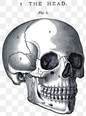 Life And Death - Skull Anatomy Neurocranium Human Body Clip Art PNG