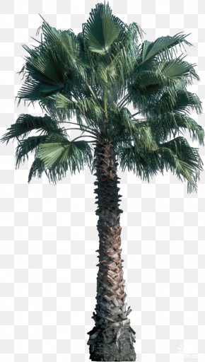 Tree - Tree Areca Palm Plant Archontophoenix Cunninghamiana Leaf PNG