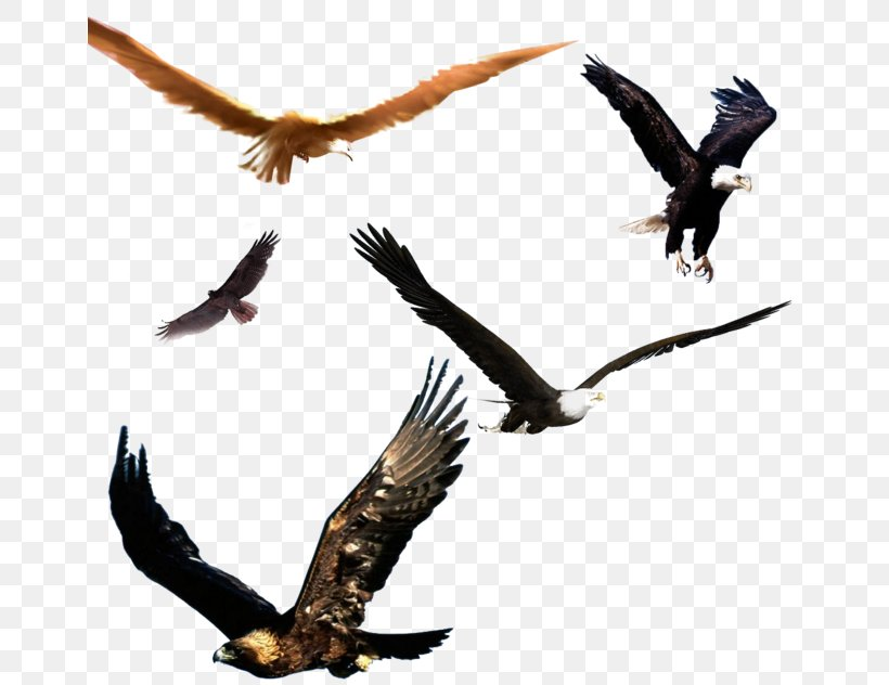 Bald Eagle Bird Flight, PNG, 658x632px, Bald Eagle, Accipitriformes, Beak, Bird, Bird Flight Download Free