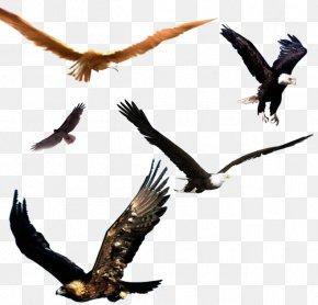Eagle - Bald Eagle Bird Flight PNG
