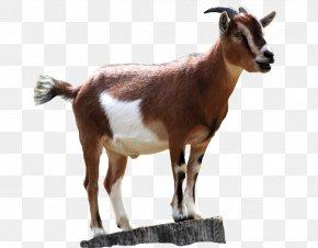 Sheep - Boer Goat Black Bengal Goat Sheep Rove Goat PNG